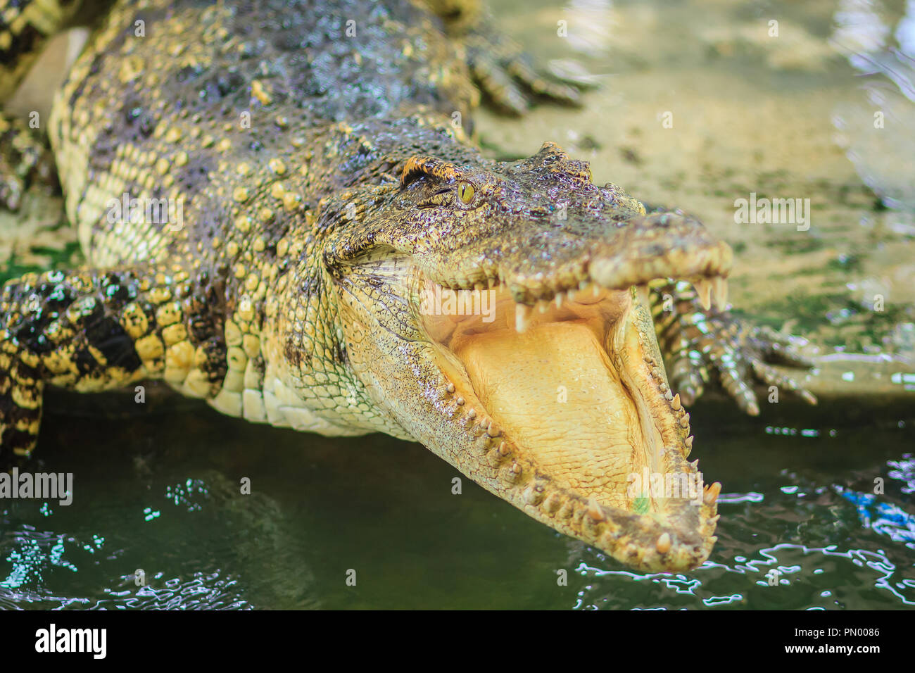 Crocodile open jaws ready to strike - Stock Image