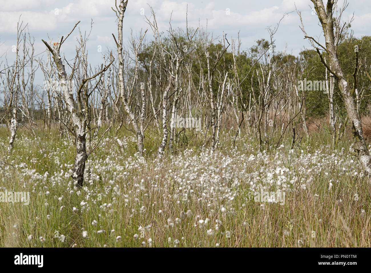 Common cottongrass, Eriophorum angustifolium, and Sphagnum bog Crowle Moor nature reserve one of the richest lowland peat vegetation areas in the nort - Stock Image
