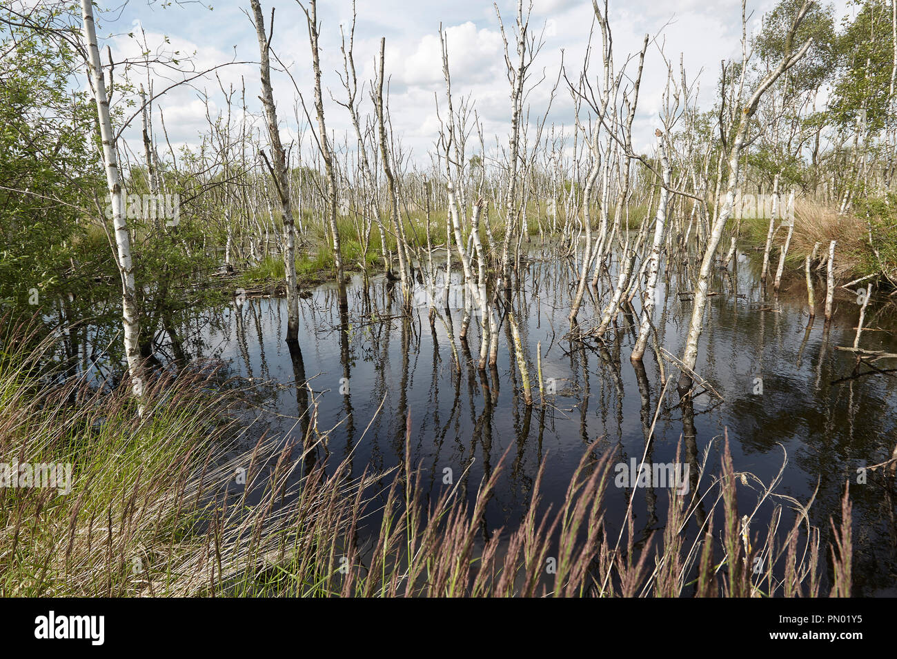 Dead silver birch trees, Common cottongrass, Eriophorum angustifolium, and Sphagnum bog Crowle Moor nature reserve one of the richest lowland peat veg - Stock Image