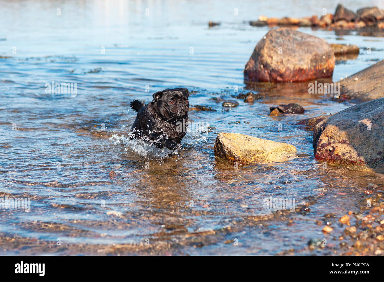 Small happy black pug dog running fast in the water at rocky beach in summer - Stock Image