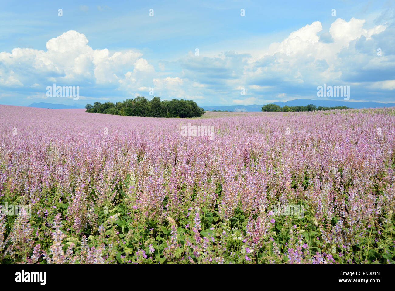 Field of Commercial Sage or Clary Sage, Salvia sclarea, on the Valensole Plateau Provence France - Stock Image