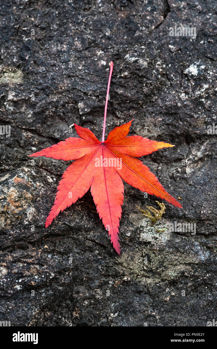 Autumn colour in Kyoto, Japan. A single red maple leaf on a rock in the garden of a zen temple - Stock Image