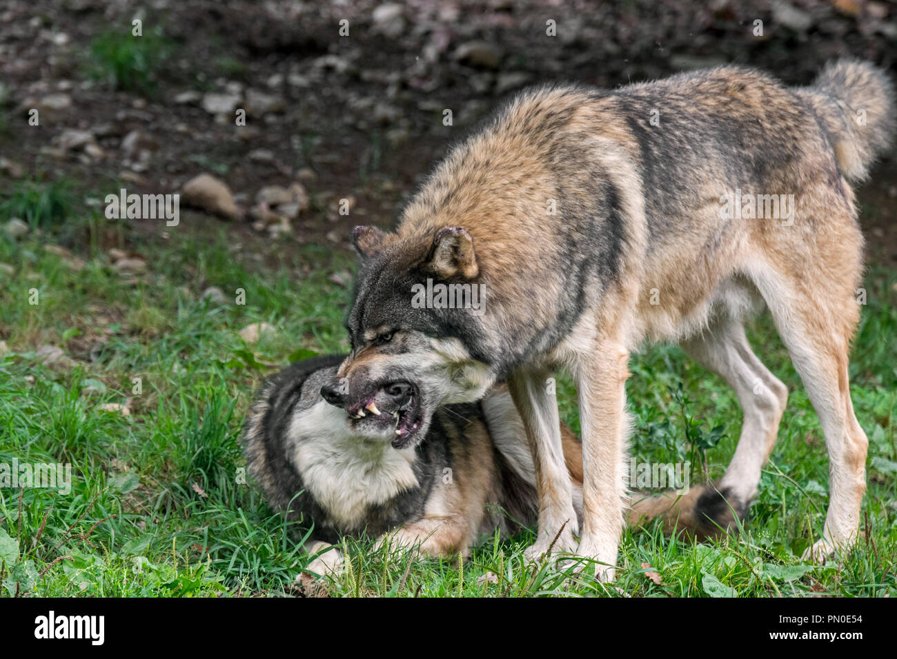 Dominant gray wolf / grey wolf (Canis lupus) grabbing pack member by the muzzle to confirm a relationship - Stock Image