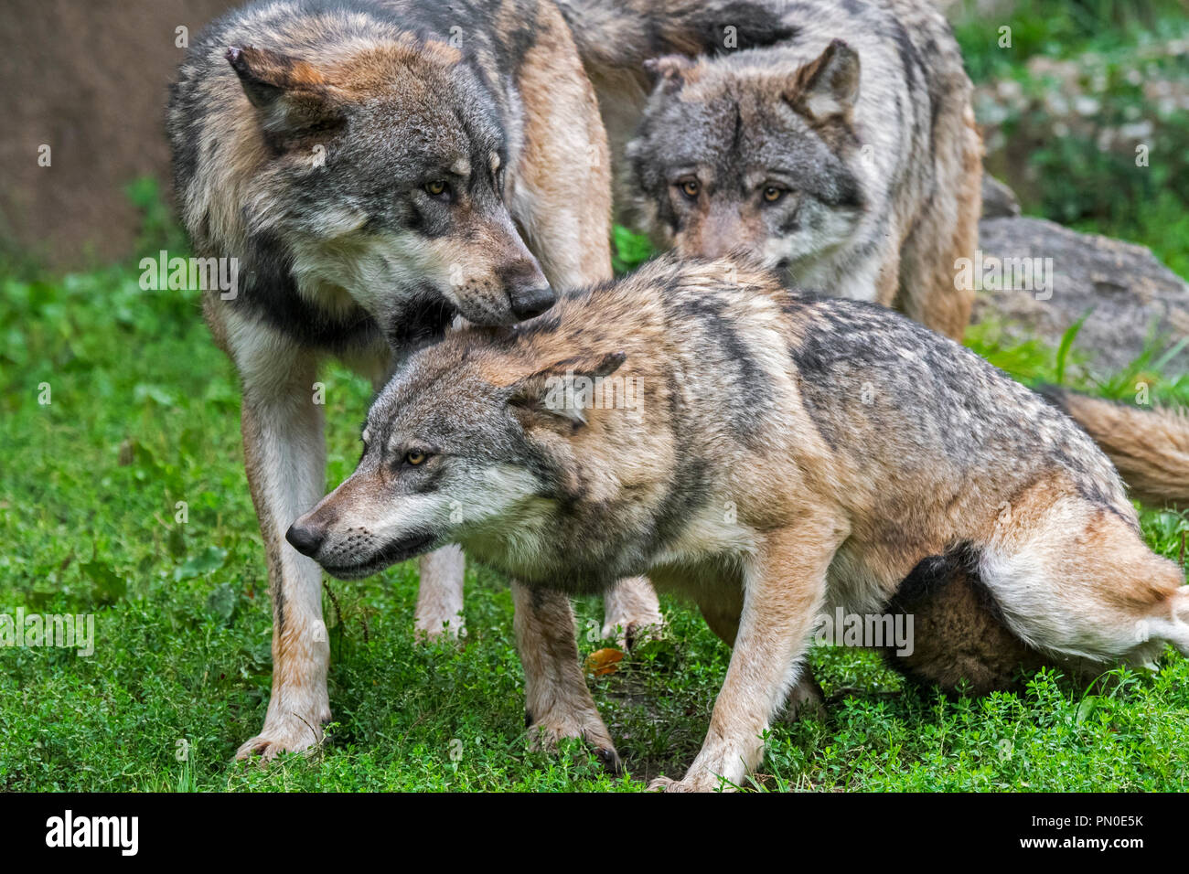 Dominant gray wolf (Canis lupus) bites subordinate wolf pack member in the neck - Stock Image