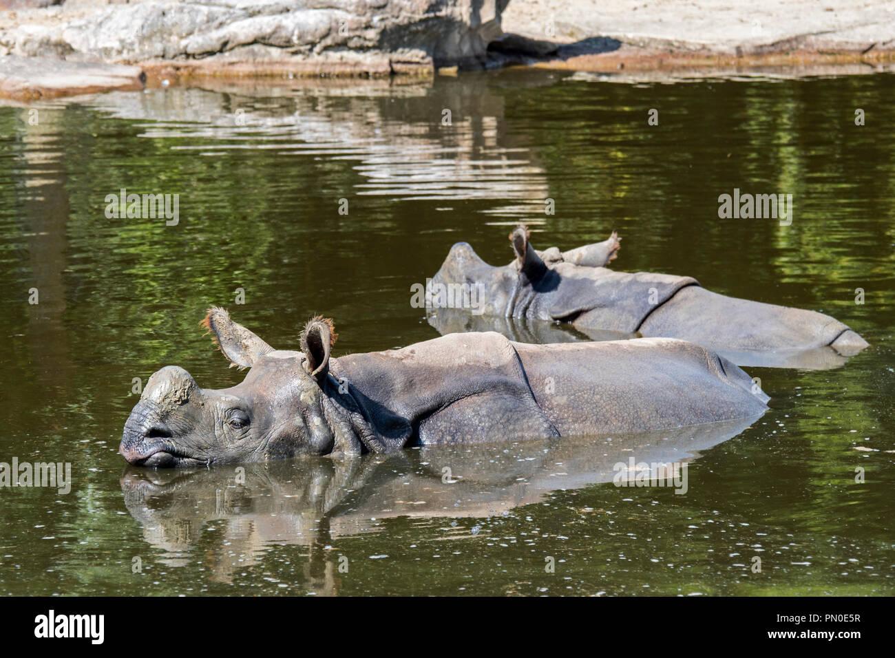 Indian rhinoceros (Rhinoceros unicornis) female with young bathing in pond - Stock Image