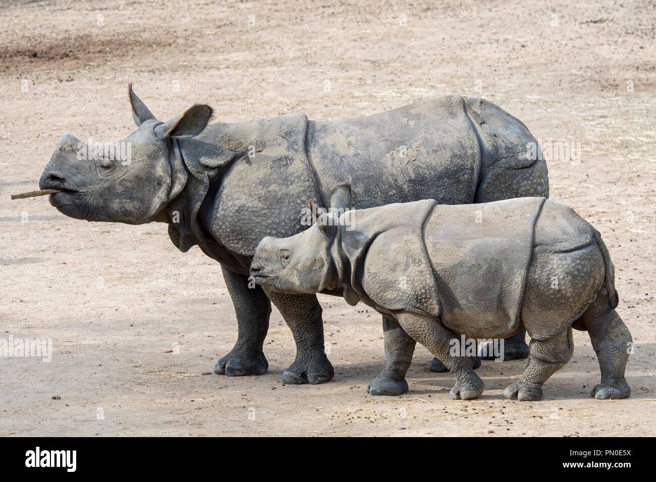 Indian rhinoceros (Rhinoceros unicornis) female with young in zoo - Stock Image