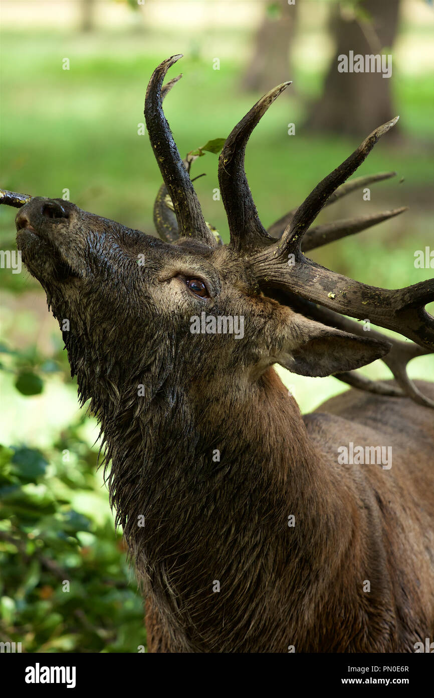 King Of The Forest Wet And Muddy Red Deer Stag In Early Autumn
