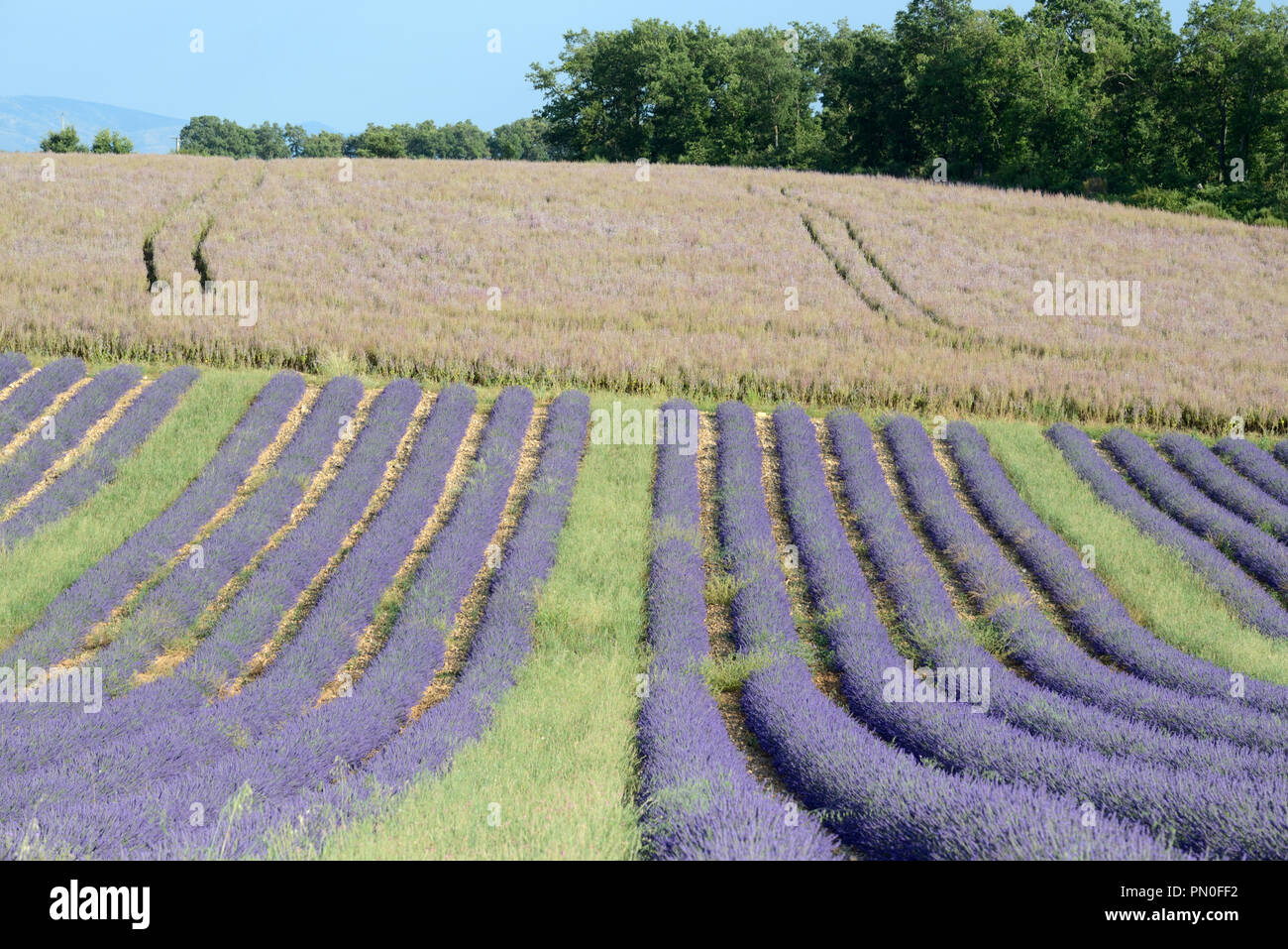 Rows of Lavender Plants & Field of Clary or Clary Sage, Salvia sclarea, on the Valensole Plateau Provence France - Stock Image