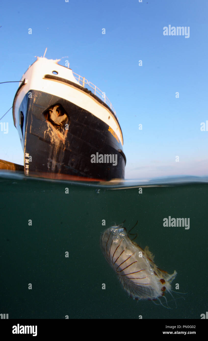 Split level ship of a compass jellyfish near a cargo ship in Southampton Water - Stock Image