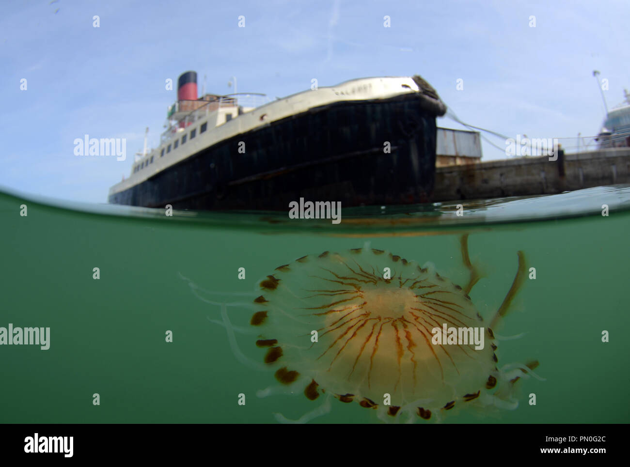 Split level shot of a compass jellyfish in the Port of Southampton near the historic steam ship the Calshot. - Stock Image