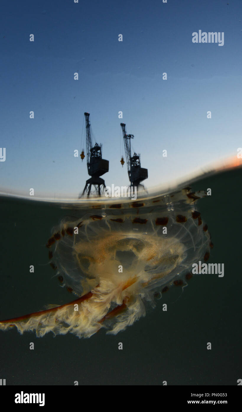 Split level shot of a compass jellyfish in the Port of Southampton at sunset - Stock Image