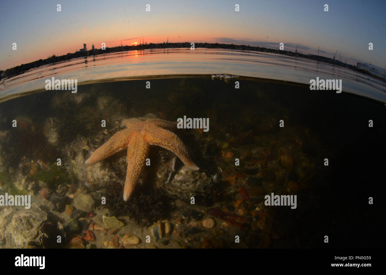 Split level shot of a common starfish at sunset in Southampton Water (at Marchwood), Hampshire - Stock Image
