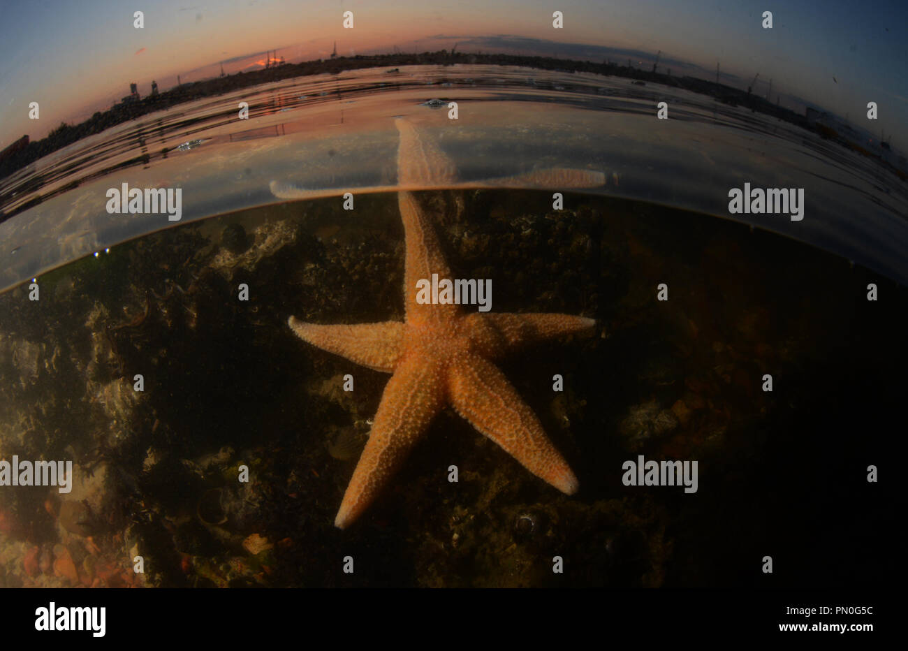 Split level shot of a common starfish in Southampton Water (Solent region, Hampshire) at sunset. - Stock Image