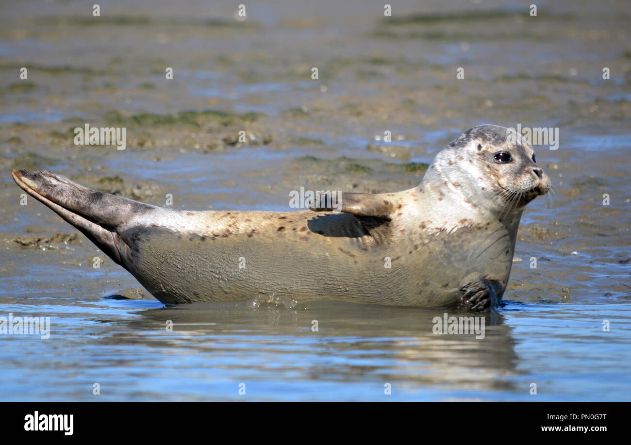 Common seal hauled out in Chichester Harbour - Stock Image