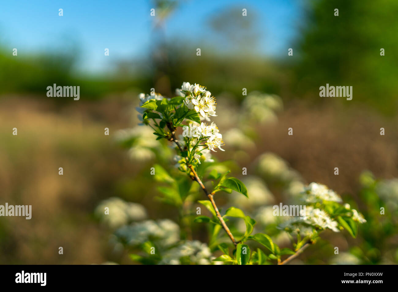 The first spring flowering bushes and trees white flowers of the first spring flowering bushes and trees white flowers of amelanchier close up mightylinksfo