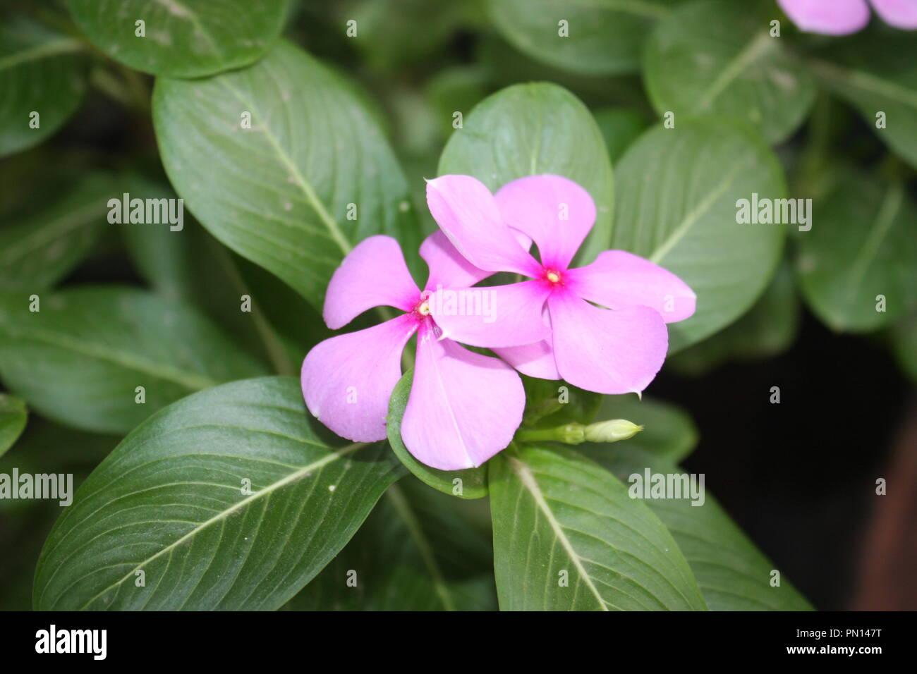 Pink periwinkle flower stock photos pink periwinkle flower stock pink periwinkle flower stock image mightylinksfo