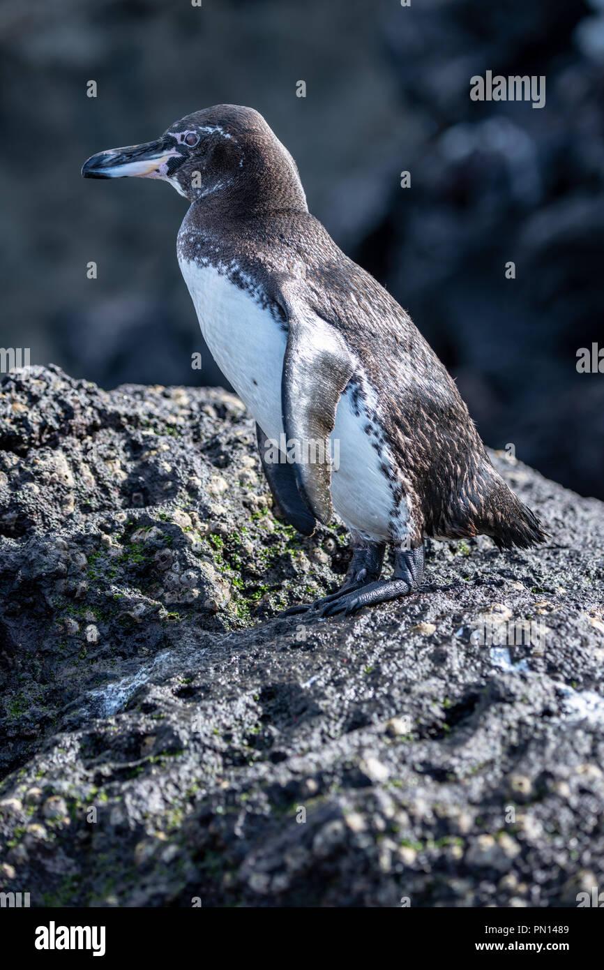 Endangered Galapagos penguin (Speniscus mendiculus) - Stock Image