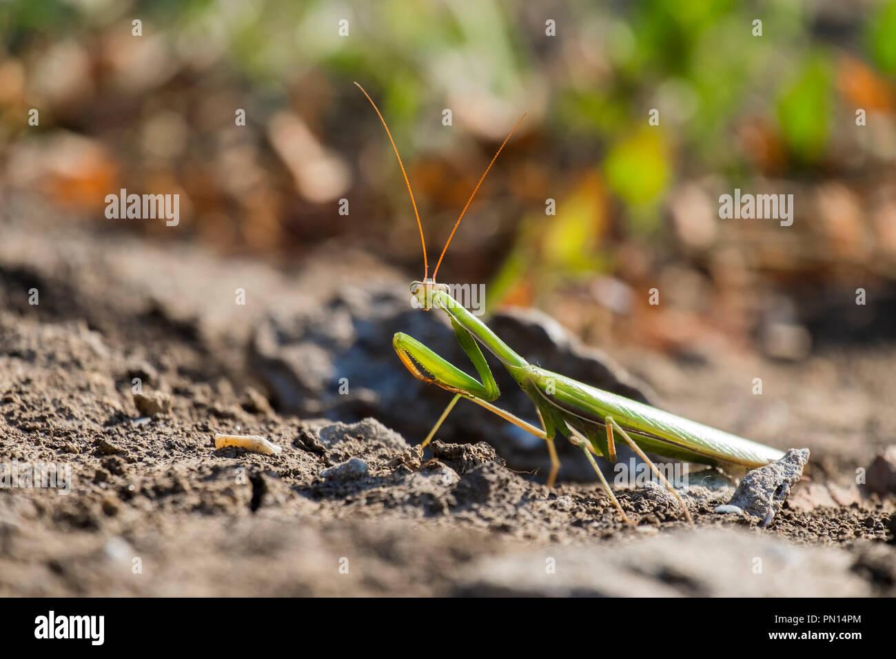European mantis. Praying mantis (Mantis religiosa) Stock Photo