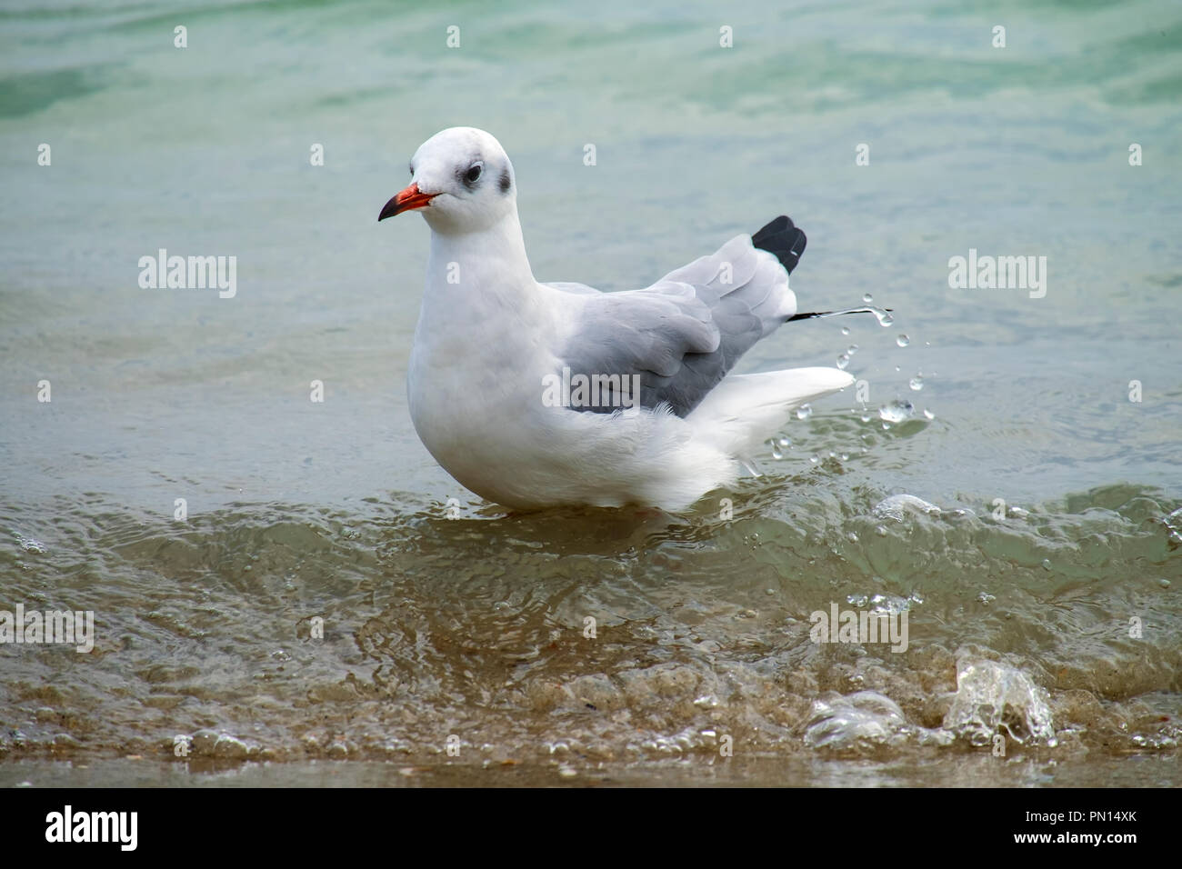 Slender-billed gull stands in the water on the beach (Chroicocephalus genei) Stock Photo