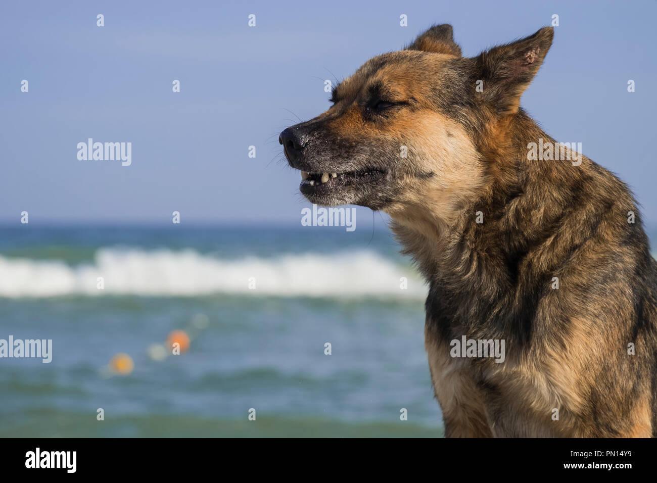Stray dog on the seashore howls a sad song - Stock Image