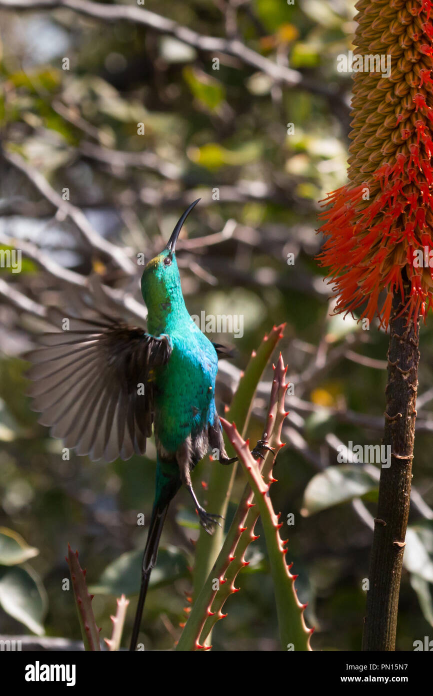 A malachite sunbird feeding on nectar from an aloe in South Africa's Cederberg Mountains. - Stock Image