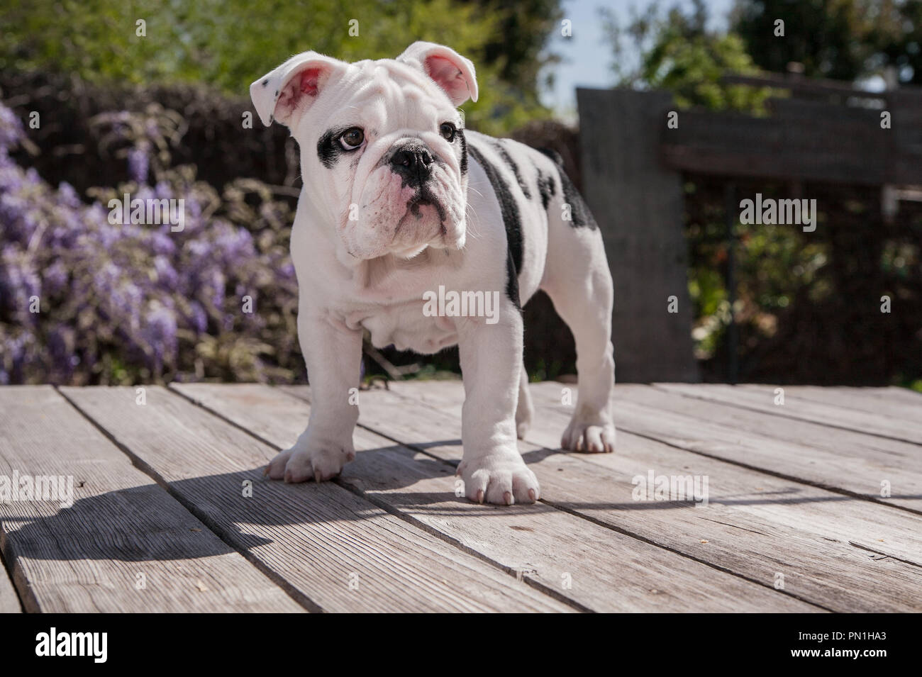 1dd858fa2a6 black   white baby bulldog puppy dog on wooden deck standing forward. He  looks very posed and majestic. He is looking to his left in front of Wistera
