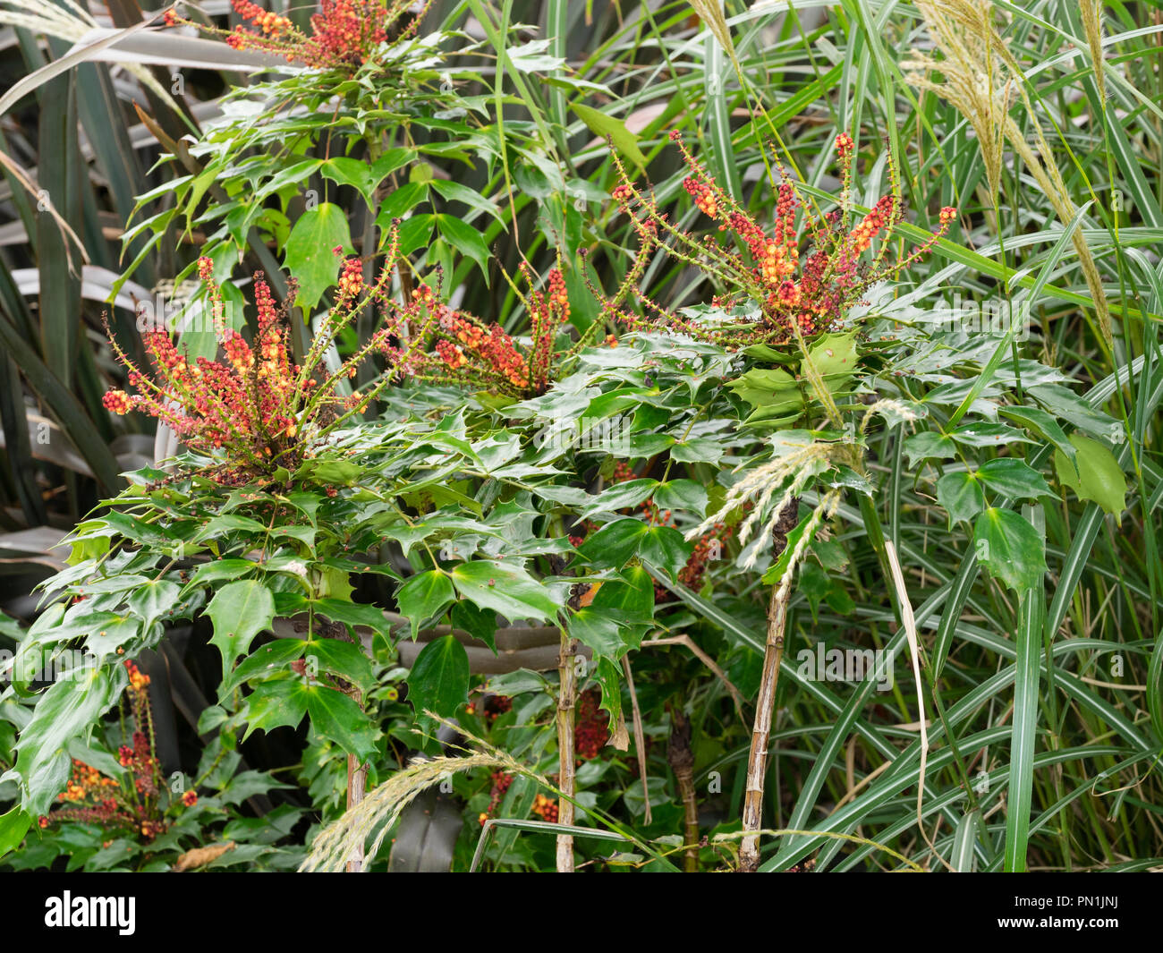 Evergreen shrub winter flowering yellow flowers stock photos red buddedm yellow flowered terminal racemes of the hardy evergreen autumn to winter flowering shrub mightylinksfo