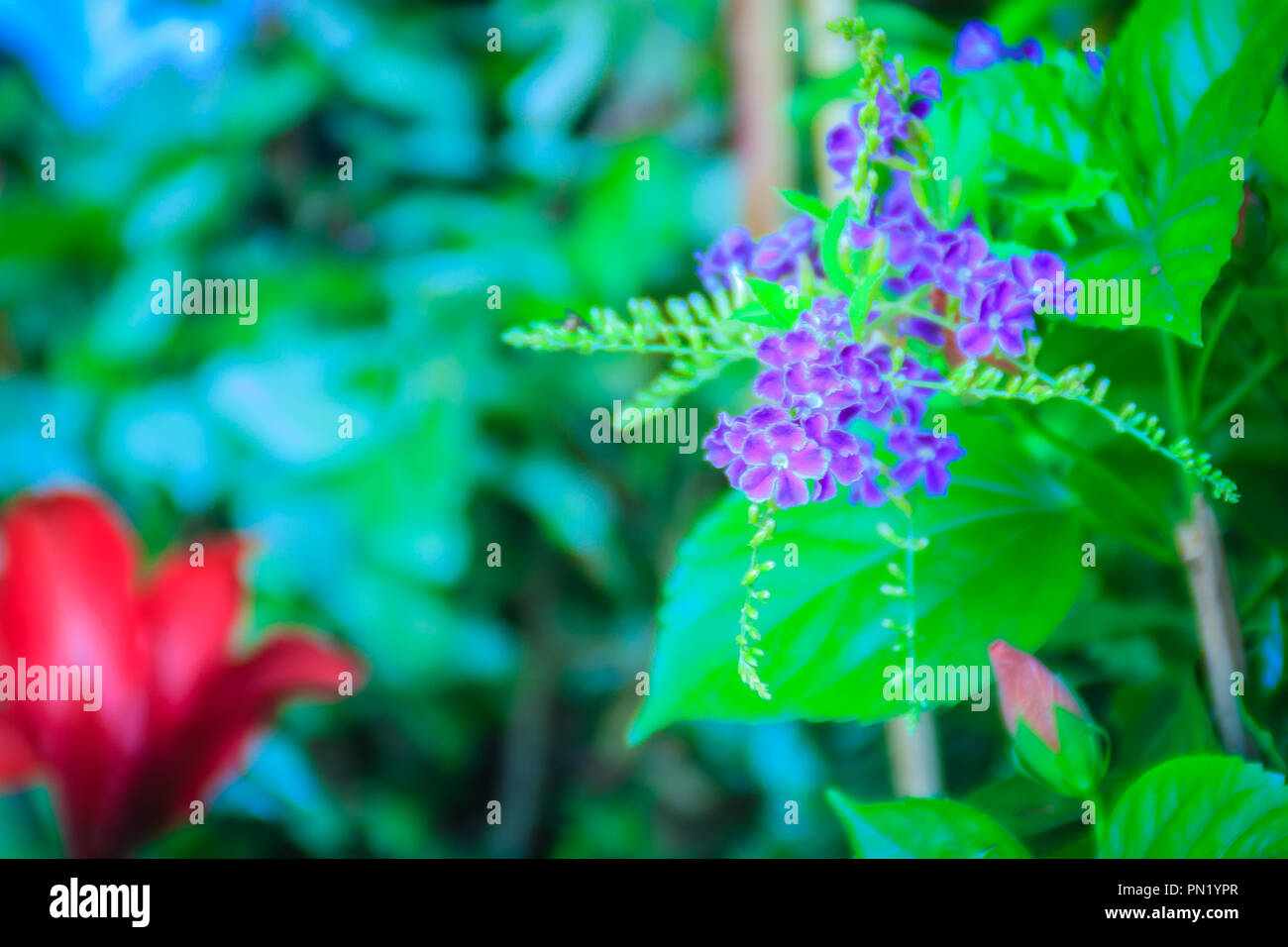 Duranta Erecta Purple Flowers Between Red Flowers Common Names Also