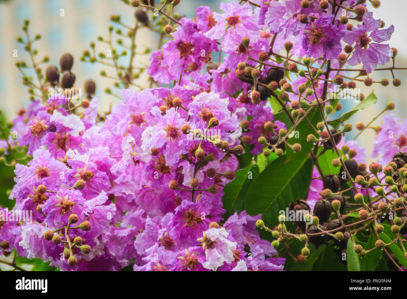 Beautiful purple flower of lagerstroemia speciosa giant crape beautiful purple flower of lagerstroemia speciosa giant crape myrtle queens crape myrtle banaba plant for philippines or pride of india species izmirmasajfo