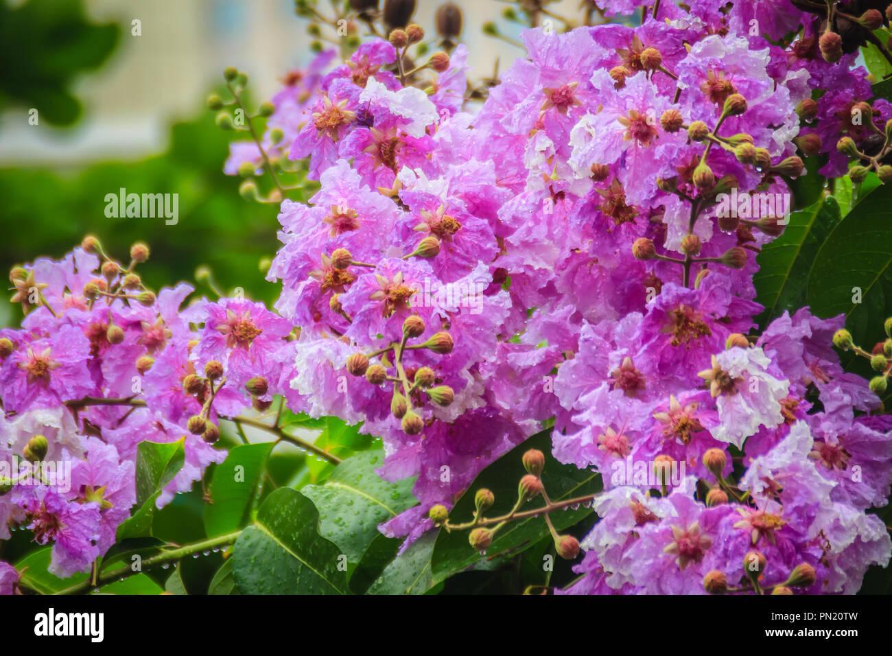 Beautiful Purple Flower Of Lagerstroemia Speciosa Giant Crape