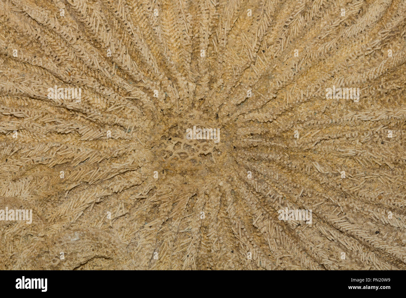 Fossil starfish, a small armed sunstar, Heliaster microbrachius - Stock Image
