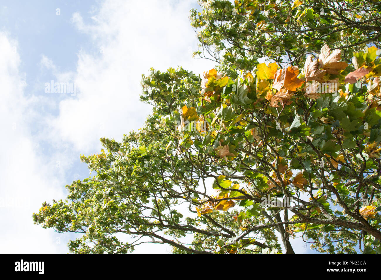 Wind Blowing Leaves In Trees On Sunny Autumn Day Stock Photo Alamy