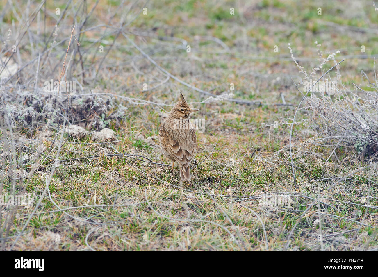 Crested lark (Galerida cristata) sits on the ground in a natural habitat. Stock Photo