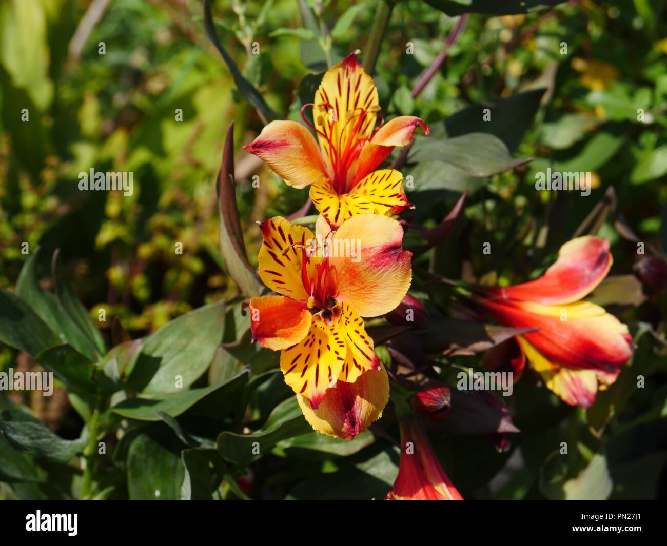 Alstroemeria Indian Summer - Stock Image