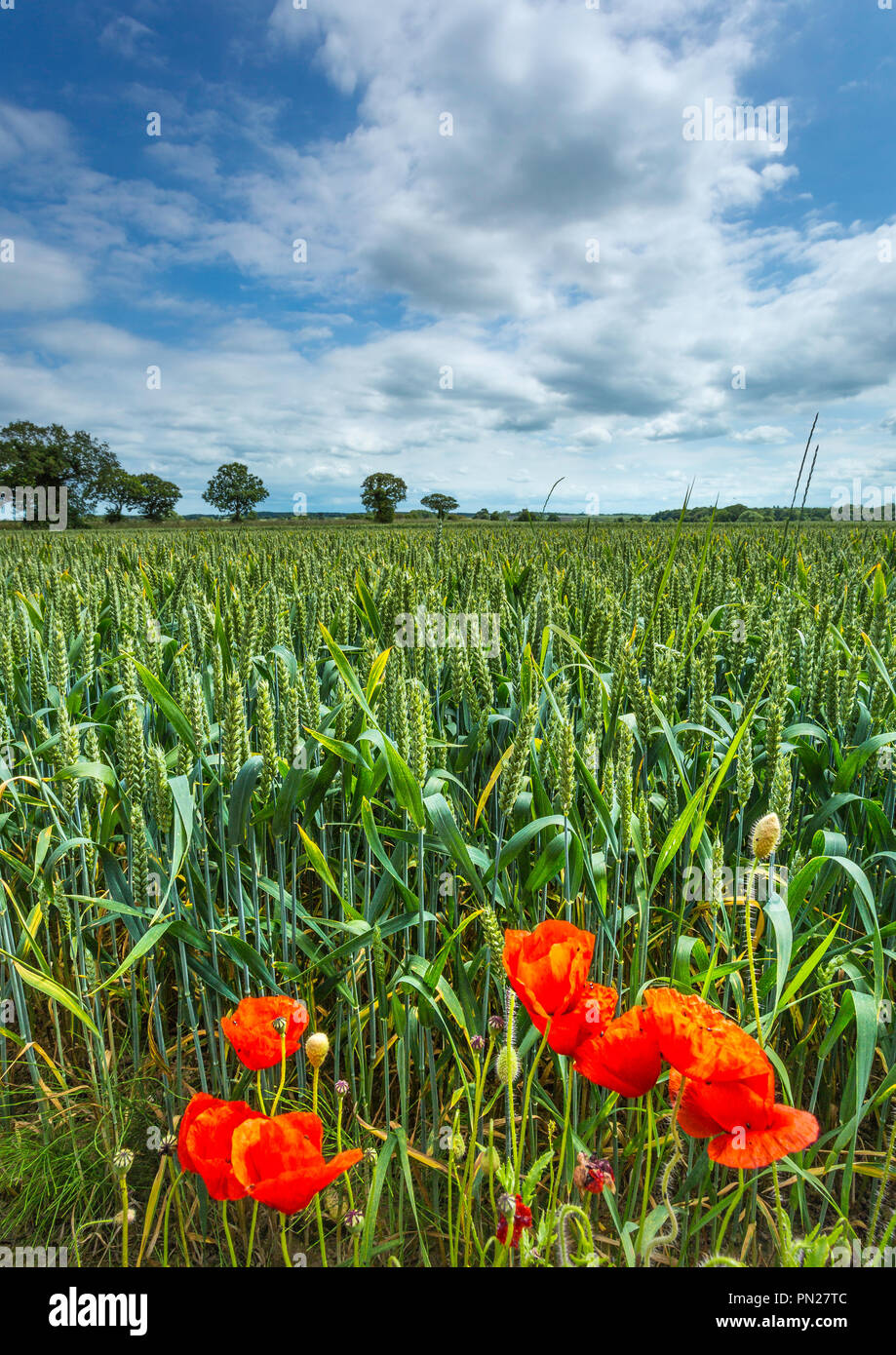 Poppies growing on a field margin. - Stock Image
