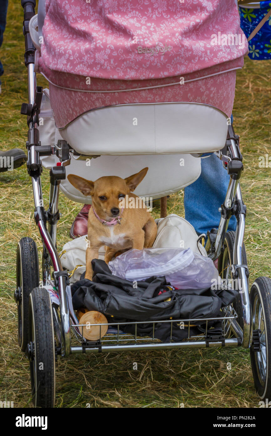 A dog rides under a pram. - Stock Image