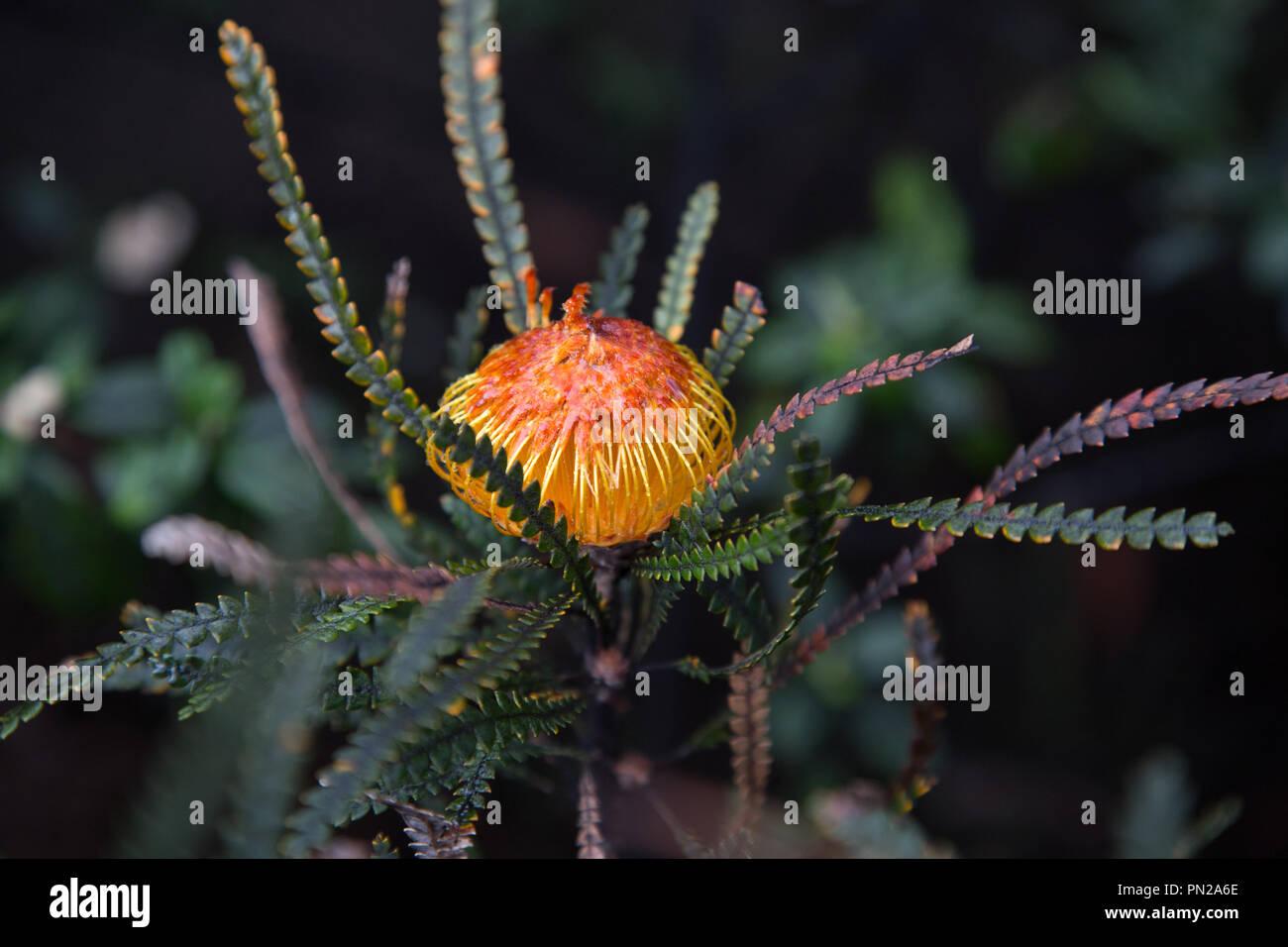 Showy Dryandra Western Australia - Stock Image