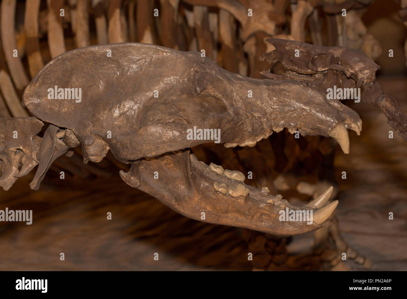 Fossil skull of a Giant Bear-Dog, Amphicyon longiramus, 18 million years old from the Miocene period. - Stock Image