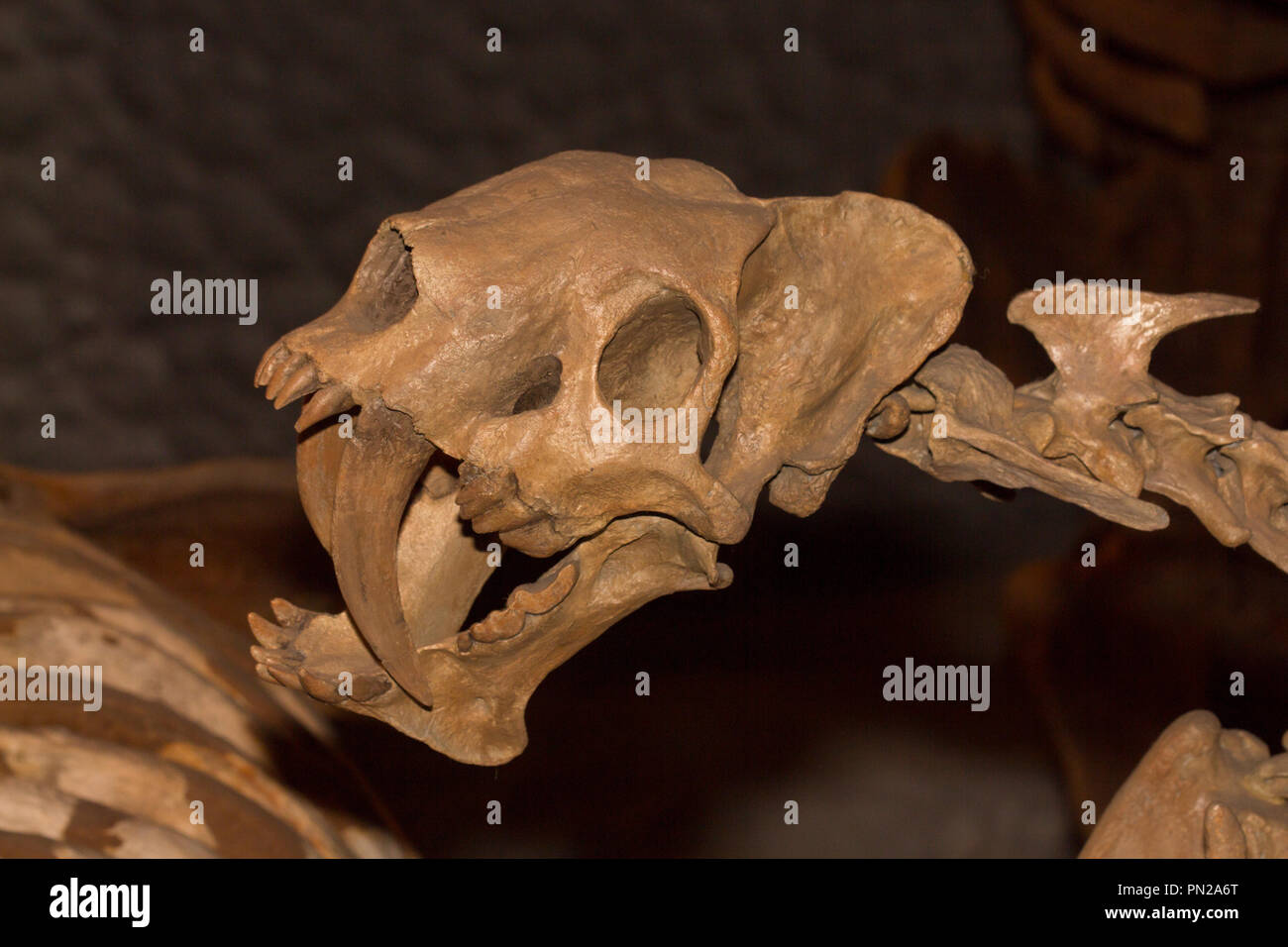 False saber-tooth, Barbourofelis loveorum, 8-9 million years old from the Miocene period, Florida - Stock Image