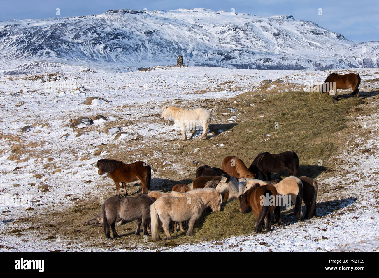 Herd of Icelandic ponies grazing in glacial landscape of South Iceland with Uthlioarhraun mountains behind Stock Photo