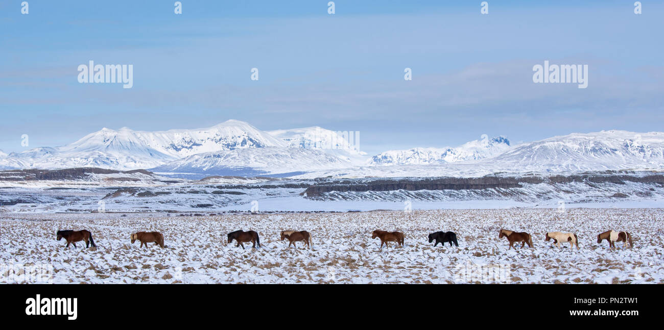 Herd of Icelandic ponies in glacial landscape of South Iceland walking in a line up following the leader - Stock Image
