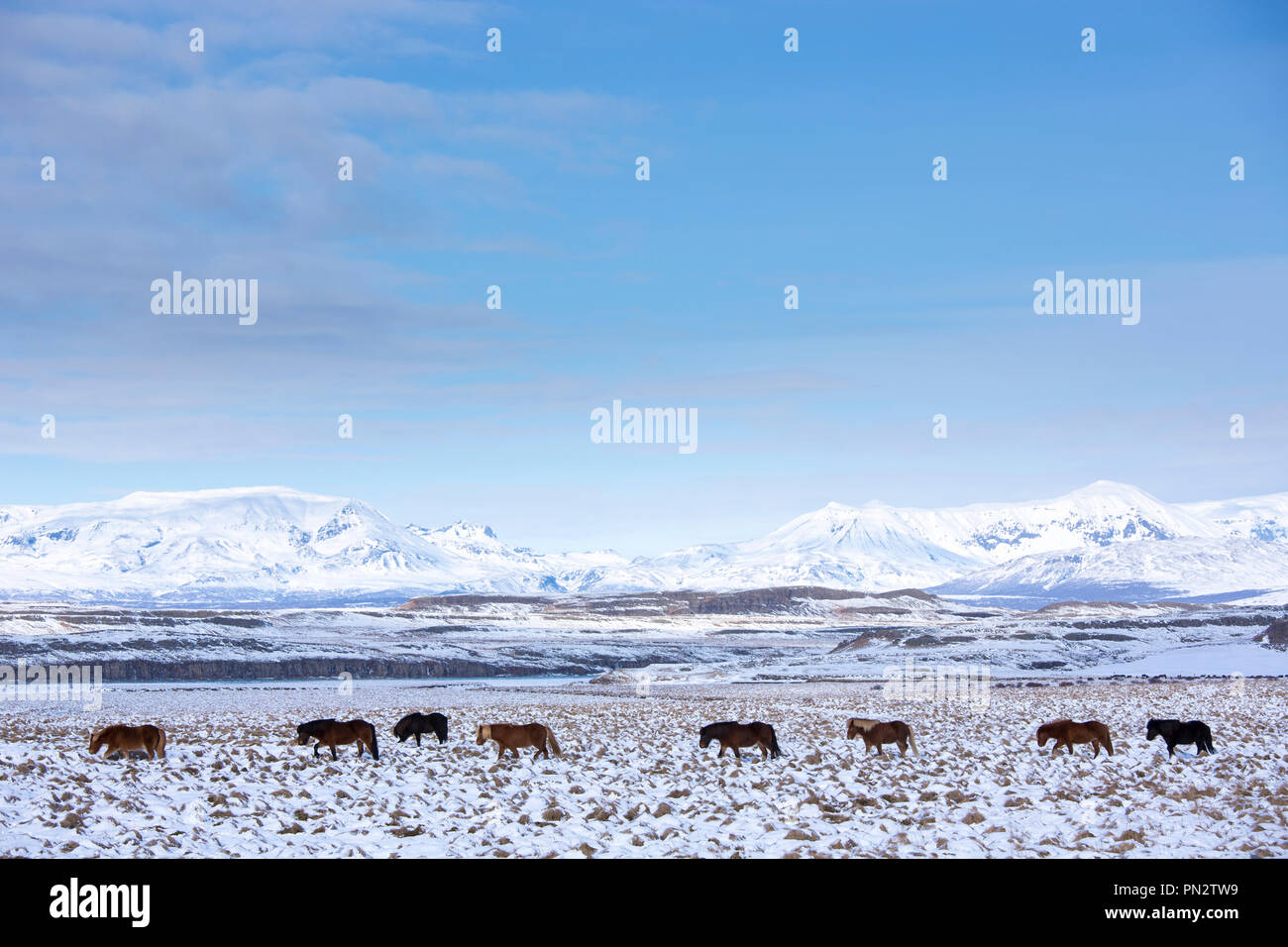 Herd of Icelandic ponies in glacial landscape of South Iceland walking in a line up following the leader Stock Photo