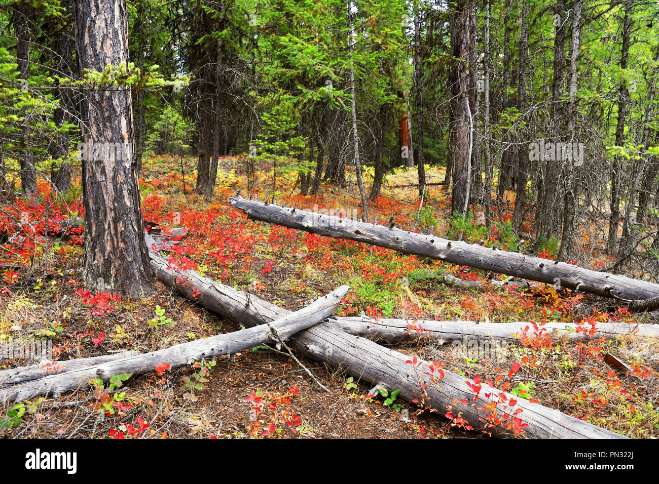 Autumn red leaves color the underbrush in a forest at Glacier National Park, Montana Stock Photo