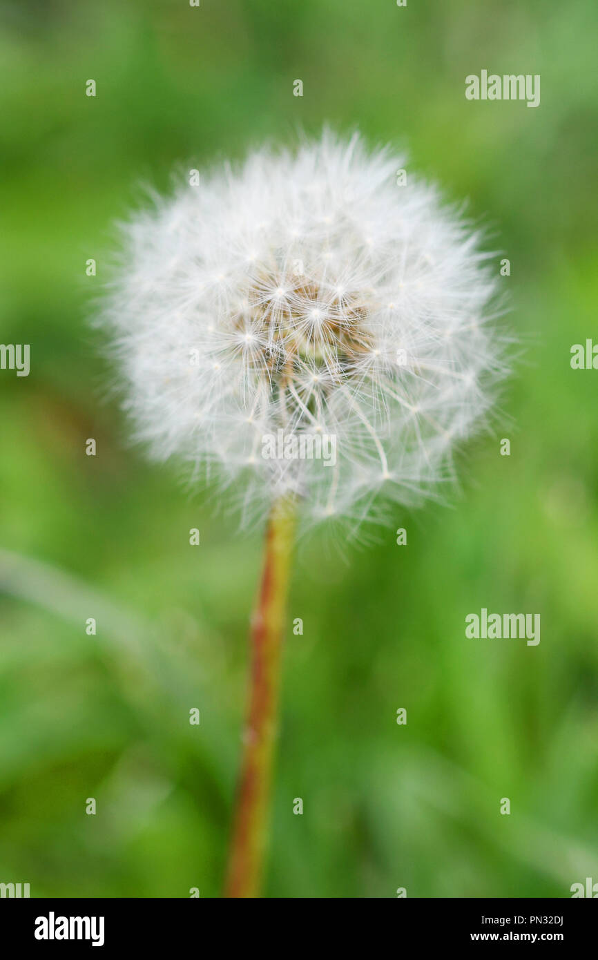 Macro of a dandelion seed head with extreme shallow depth of field Stock Photo