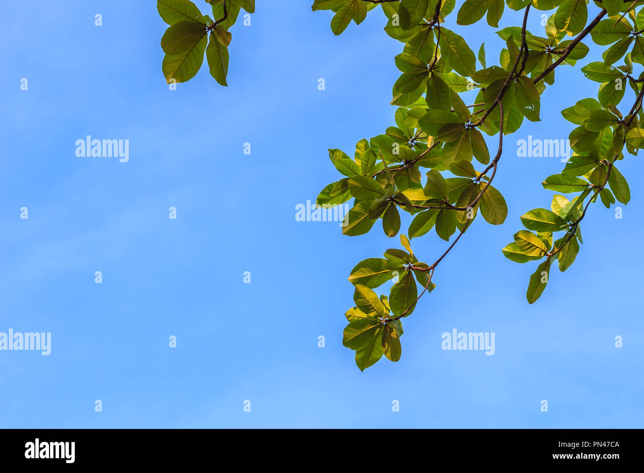 Green leaves background of Terminalia catappa tree on blue sky  It