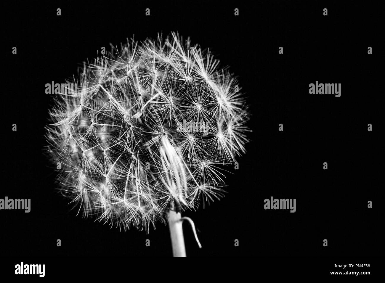 Beautiful dandelion extreme closeup with shallow focus isolated on black with copy space in black and white - Stock Image