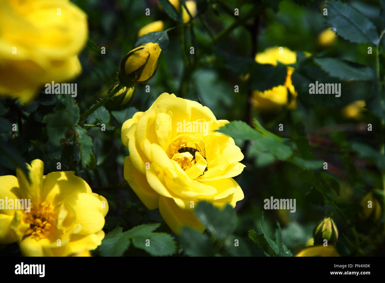 Honey bee gathering nectar from a yellow rose Stock Photo