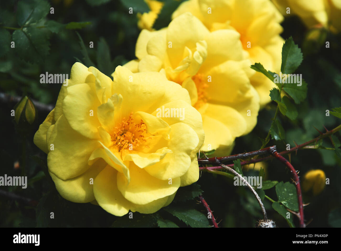Three yellow roses lined up in a row on a shrub Stock Photo