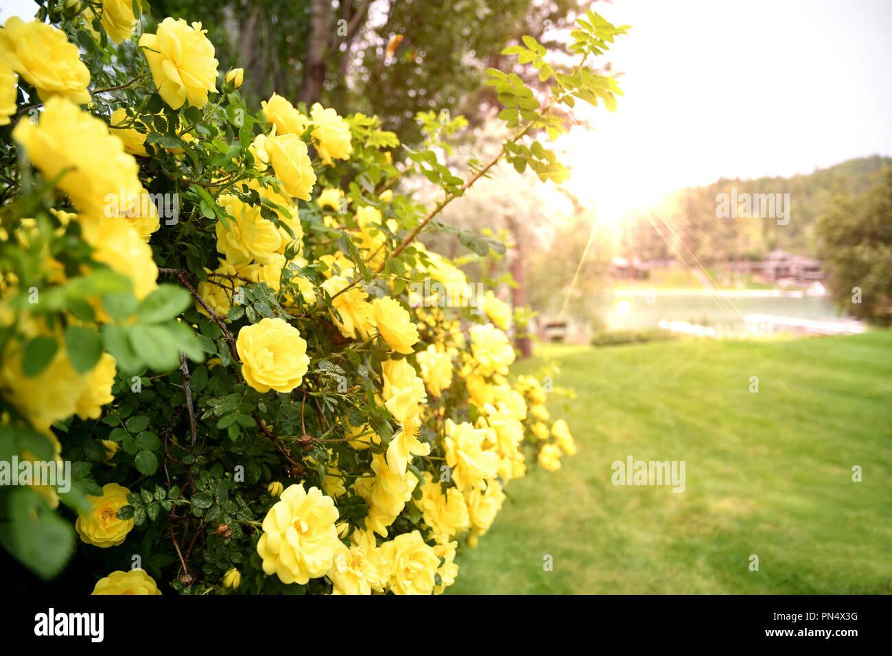 Bush of yellow roses basking in the morning sunlight Stock Photo