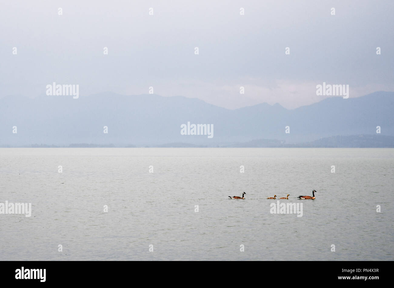 Family of Canada geese swimming during a rain storm on Flathead Lake in Montana Stock Photo